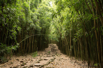 Path through tall bamboo