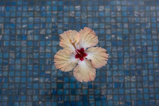 Pink hibiscus flower floating in pool