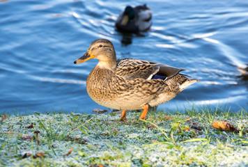 View of mallard duck