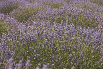 Aromatic lavender field in Isparta, Turkey.