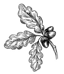 Oak leaves and acorn. Hand drawn sketch. Vector