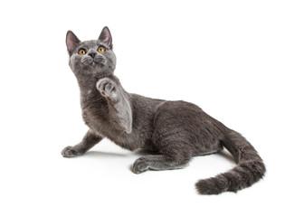 Playful Young Grey Cat Raising Paw to Bat