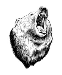 Vector engraved style illustration for posters, decoration and print. Hand drawn sketch of bear in black isolated on white background. Detailed vintage etching style drawing.