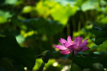 木陰で咲く蓮の花