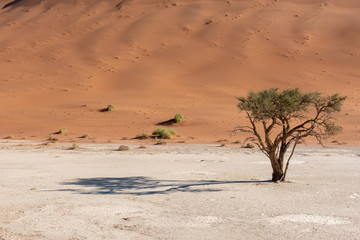 Lone green tree with shade in hot desert, white clay pan and red dunes, Sossusvlei, Namib Naukluft National Park Namibia