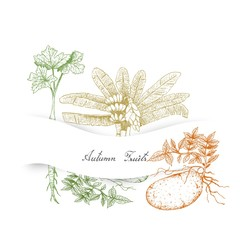 Hand Drawn Autumn Vegetables of Ensete Banana, Parsnip and Potatoes