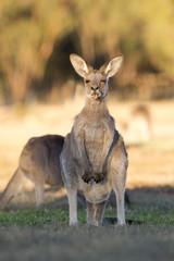 Western grey kangaroos in outback Queensland, Australia.