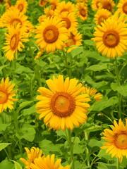 里山に咲く向日葵