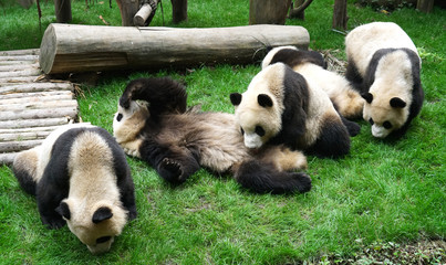close up on giant pandas playing outdoor on the meadow