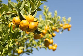 kumquat tree orchard growing in western Queensland,Australia.