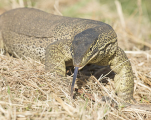 monitor lizard at Cumberland chimney Queensland, australia
