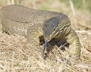 monitor lizard at Cumberland chimney Queensland, australia