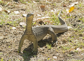 Monitor lizard near Karumba, Queensland, Australia.