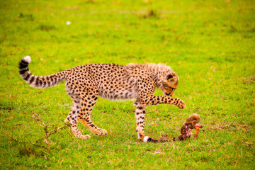 Portrait shots of cheetahs and cubs playing and lounging in Africa