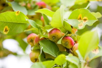Begonia fruit, outdoor scenery, closeup