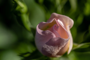 Rambling Rose in the Early Morning Light
