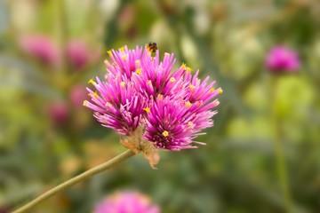 Gomphrena globosa flower in nature garden