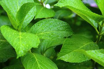 Green leaves wet in the rain