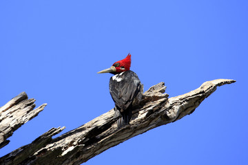 Crimson-crested Woodpecker (Campephilus melanoleucos) on a Branch. Pantanal, Brazil
