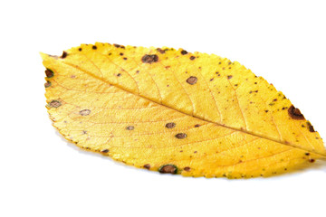 One autumn leaf on a white background selective focus