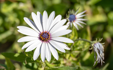 White Osteospermum Daisy With Purple Center