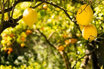 Zitronenbäume in Italien, Limoncello, Anbau von Zitronen und Apfelsinen