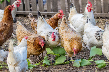 motley chickens grazing in the farmyard yard