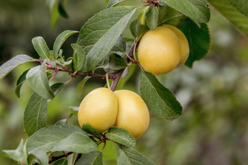 sweet yellow plum ripens on a tree in the garden