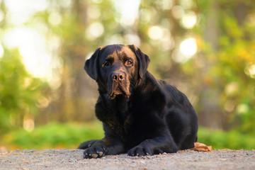 Black Labrador Posing
