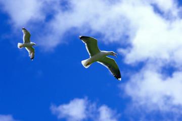 zafferano larus fuscus gabbiano in volo richiami scozia gran bretagna