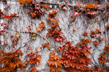 Red ivy leaves on a gray concrete wall in autumn, background texture surface photo