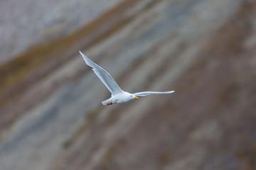 glaucous burgomeister gull (Larus hyperboreus) flying