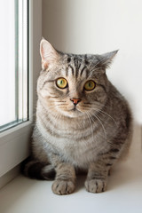 Adorable gray cat with green eyes is sitting near to the window.