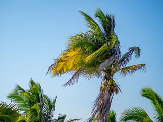 Palm tree with coconuts blowing in the wind against a blue sky