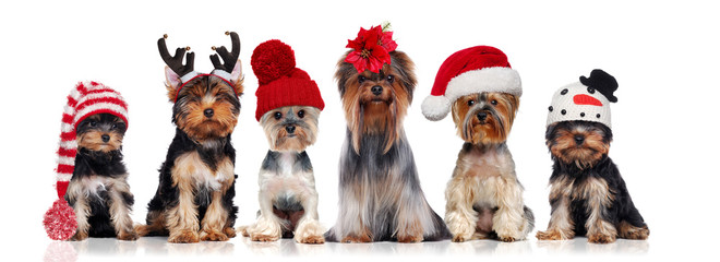 Poster Chien Yorkshire terriers wearing different christmas hats