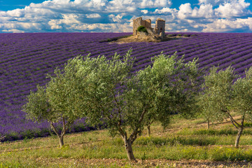 Spoed Fotobehang Lavendel Champs de lavande et oliviers en Haute-Provence