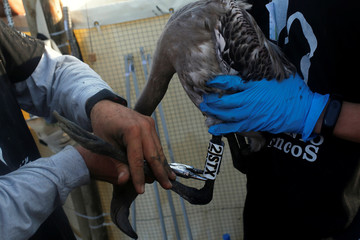Volunteers hold a flamingo chick as it is fitted with identity rings in the Fuente de Piedra natural reserve near Malaga