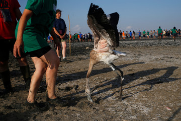 A volunteer releases a flamingo chick after it was fitted with an identity ring at a lagoon in the Fuente de Piedra natural reserve near Malaga