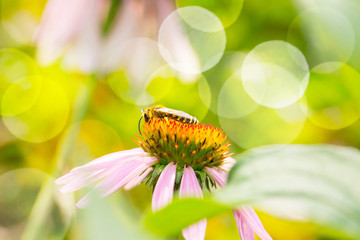 Wild bee on Echinacea purpurea flower  -  Medicinal plant  -  Nature background with bokeh