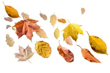 Herbstlaub flieget auf weiss