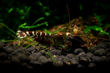 Tibee shrimp aquarium hobby pets freshwater nature