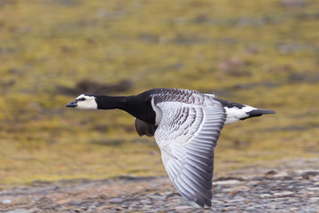 portrait barnacle goose (branta leucopsis) in flight over ground