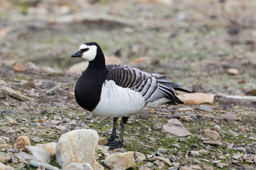 close view portrait barnacle goose (branta leucopsis) standing