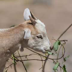 White and brown wild goat eating leaves, funny head