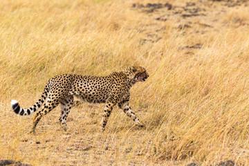 African cheetah. Masai Mara. Kenya, Africa