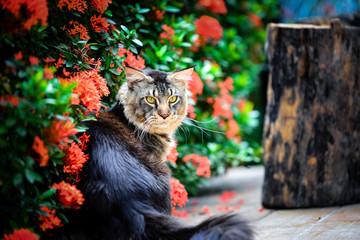 A big black ticked male cat sitting on wooden floor in flower garden in noon time sunlight. Mean face cat. Giant cat in garden. Black brown kitten in red green garden.