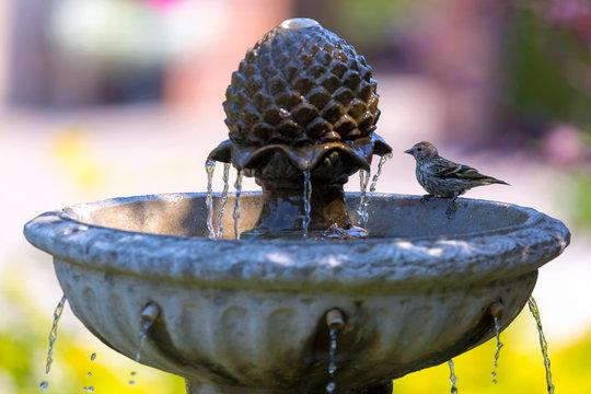 Pine Siskin bird perched on Water Fountain in garden