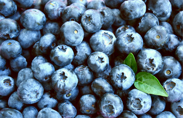 Blueberries with full frame for wallpaper or texture. Blueberries are Low in Calories, But High in Nutrients.