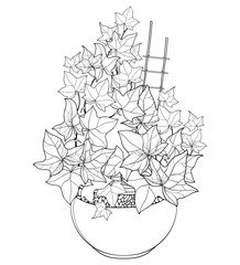 Vector bunch of outline Ivy or Hedera vines in flower pot. Ornate leaves of Ivy bunch in black isolated on white background. Perennial climbing plant in contour for summer design or coloring book.