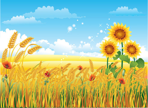 Natural landscape with a wheat field and sunflowers